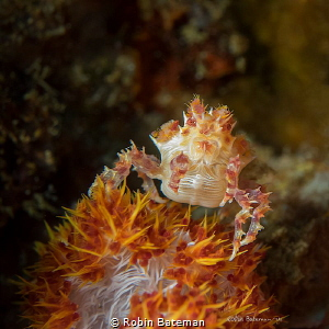 Orange Crush   These little soft coral crabs are so good ... by Robin Bateman