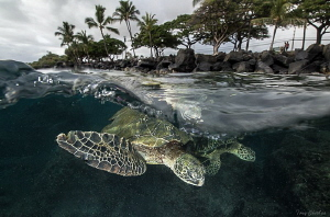 2 Turtles under the surface in Lahaina, Maui by Tony Cherbas