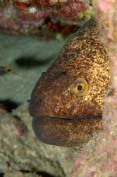 moray of aqaba 105mm macro by Chris Kennedy