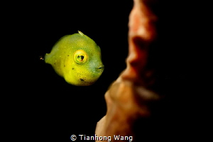 SLEEPY EYES  juvenile file fish  i use two fit pro +10 i... by Tianhong Wang