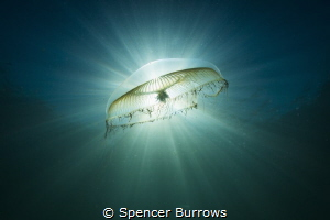 'Moonlight' Moon Jellyfish in the early morning light by Spencer Burrows