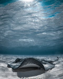 'Light Ray' - A southern stingray of Grand Cayman by Tanya Houppermans