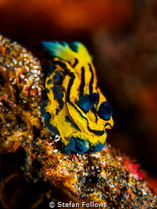 Little Puddlepooper   Nudibranch - Tambja sp.  Bali, ... by Stefan Follows