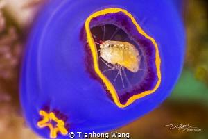 THE GUARD seabug only 1mm Anilao by Tianhong Wang