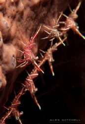 The odd one out! Dancing shrimps in Bali. by Alex Mitchell