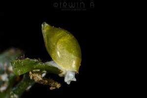 H E A D - D O W N Volvatella viridis Hamatani Anilao, P... by Irwin Ang