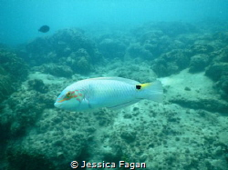 Three-spot wrasse passing by. by Jessica Fagan