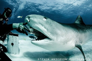 A quick breakfast snack at Tiger Beach Bahamas by Steven Anderson