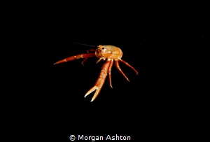Pelagic Red Crab in Monterey by Morgan Ashton