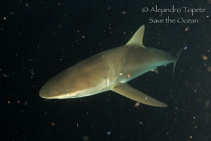Silky Shark in Space, Socorro Island Mexico by Alejandro Topete