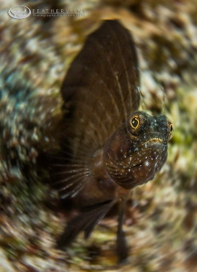 A Sailfin Blenny displays his distinctive trait. by Glenn Ostle