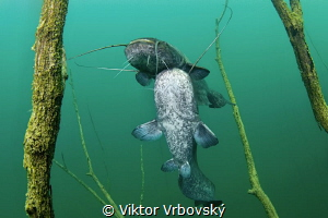 Dance of Sheat-fish II. by Viktor Vrbovský