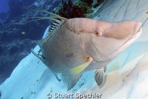 A very friendly hogfish hogging the camera. by Stuart Spechler