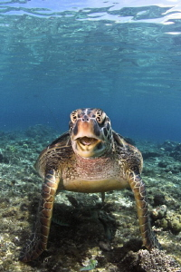 Turtle at Apo Island by Iyad Suleyman