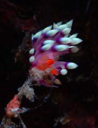 Flabellina exoptata taken from Puerto Galera - Sabang Bay by Alex Lau