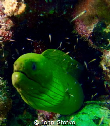 Posing green moray by John Stofko