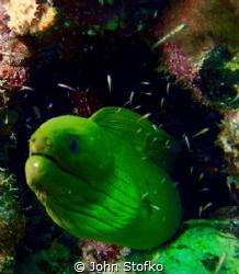 Posing green moray by John Stofko