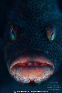 """""""Take Me To Your Leader""""  A graysby fish stares menacin... by Susannah H. Snowden-Smith"""