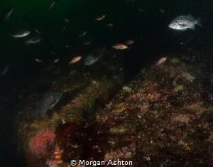 Rockfish etc. in Monterey by Morgan Ashton