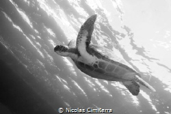 A green turtle swimming in the ocean by Nicolas Cimiterra
