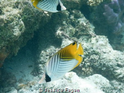 2 double saddle butterfly fish hanging out by Jessica Fagan