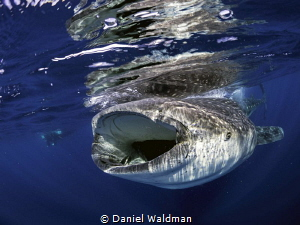 Whale Shark picture taken off coast of Isla Mujeres . by Daniel Waldman