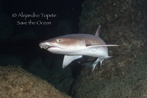 White Tip Shark in cave, Isla San Benedicto Mexico by Alejandro Topete