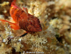 pretty goby by Aksems Kuzucu