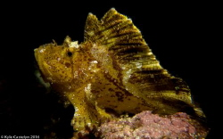 Leaf scorpion fish - Taenianotus triacanthus by Kyle Castelyn