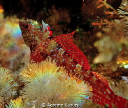 Female blenny ready for the relay race holding the flag by Aksems Kuzucu