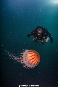 Compass Jellyfish makes good company on deco by Marcus Blatchford