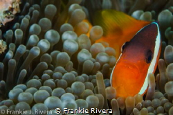 Anemone Fish Invitation to his house by Frankie Rivera