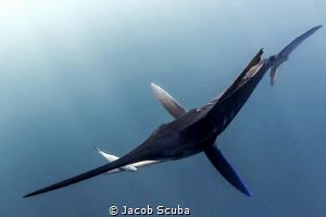 The predator by Jacob Scuba