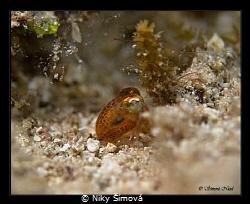 baby cuttlefish by Niky Šímová