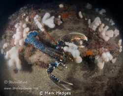 Rock Lobster ? by Mark Hedges