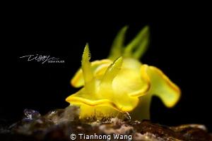 LEMON NUDI  by Tianhong Wang