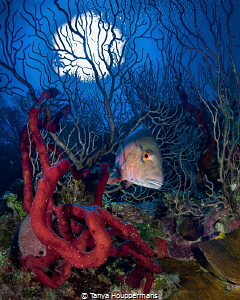 'Into The Woods' - A mutton snapper swims through the cor... by Tanya Houppermans
