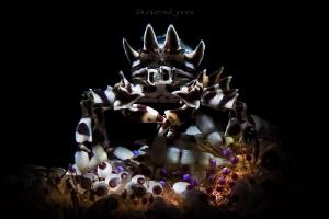 Zebrida adamsii in Retra snoot light by Wayne Jones
