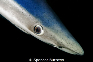 Blue Eyes - Blue Shark portrait, taken UK/Penzance by Spencer Burrows