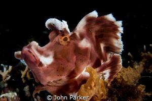 Paddle Flap Rhinopia by John Parker