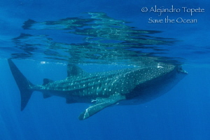 Whaleshark in the surface, Isla Contoy Mexico by Alejandro Topete