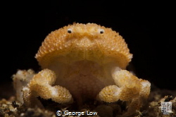 Pearl Granular Crab by George Low