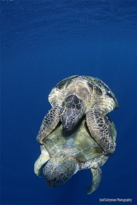 Mating Sea Turtles by Iyad Suleyman