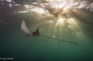 An Eagle Ray cruises the shallows at magic hour by Tony Cherbas