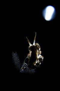 M O O N - L I G H T  Nudibranch (Doto greenamyeri) Tula... by Irwin Ang