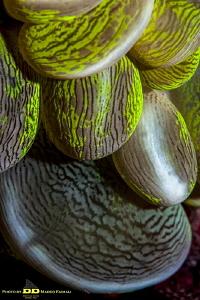 Bubble Coral by Marco Faimali (ismar-Cnr)