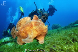Giant Frogfish swimming with diver by James Emery