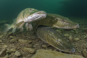 Three's a crowd - Pike cosying up during mating season. by Spencer Burrows