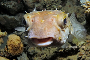 So sweet: The Yellowspotted burrfish (Cyclichthys spilost... by Andre Philip