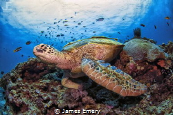 Green Turtle by James Emery